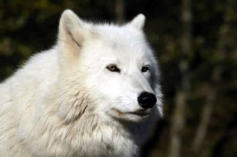 From White Wolf Sanctuary Web Site.