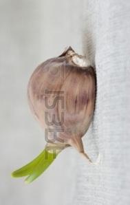 Gousse-d-ail-germee-sur-un-tissu-gris__02