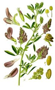 Luzerne cultivée, Medicago sativa. Source : Prof. Dr. Otto Wilhelm Thomé in « Flora von Deutschland, Österreich und der Schweiz », 1885, Gera, Germany. Sur Wikipedia.