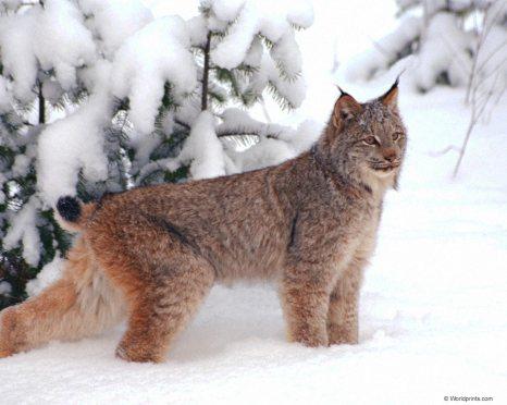 Lynx -- Loup-Cervier