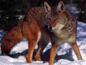 Coyote__03