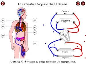 La circulation sanguine dans le corps humain (Romain_Riffiod_2011 -- source, cliquer)