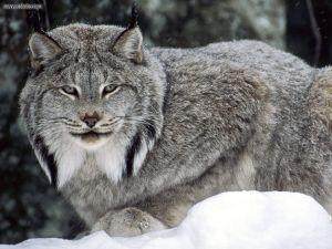 Loup-cervier (lynx).